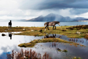 Les chevaux du Connemara