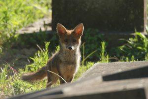 Un mignon petit renard qui a suscité l'enthousiasme d'Anne Hidalgo